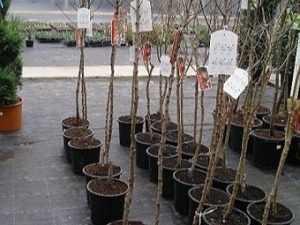 миндаль растение кустарник