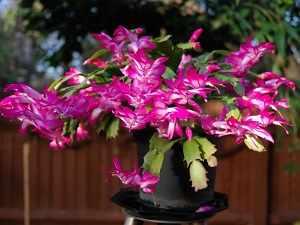 декабрист цветок не цветет почему