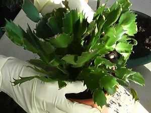 комнатные цветы декабрист уход в домашних условиях
