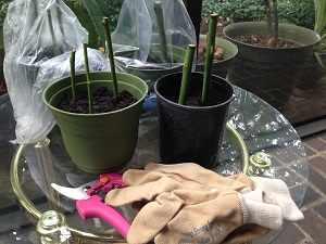 как из букета роз вырастить черенки