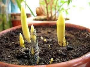 выгонка тюльпанов к 8 марту