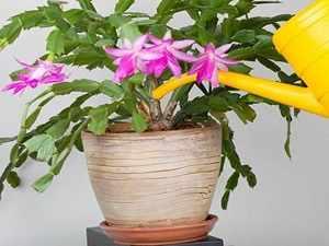 цветок декабрист уход и размножение
